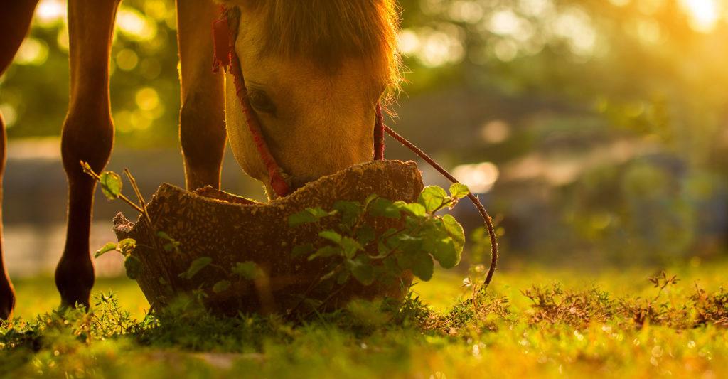 La spiruline pour le cheval
