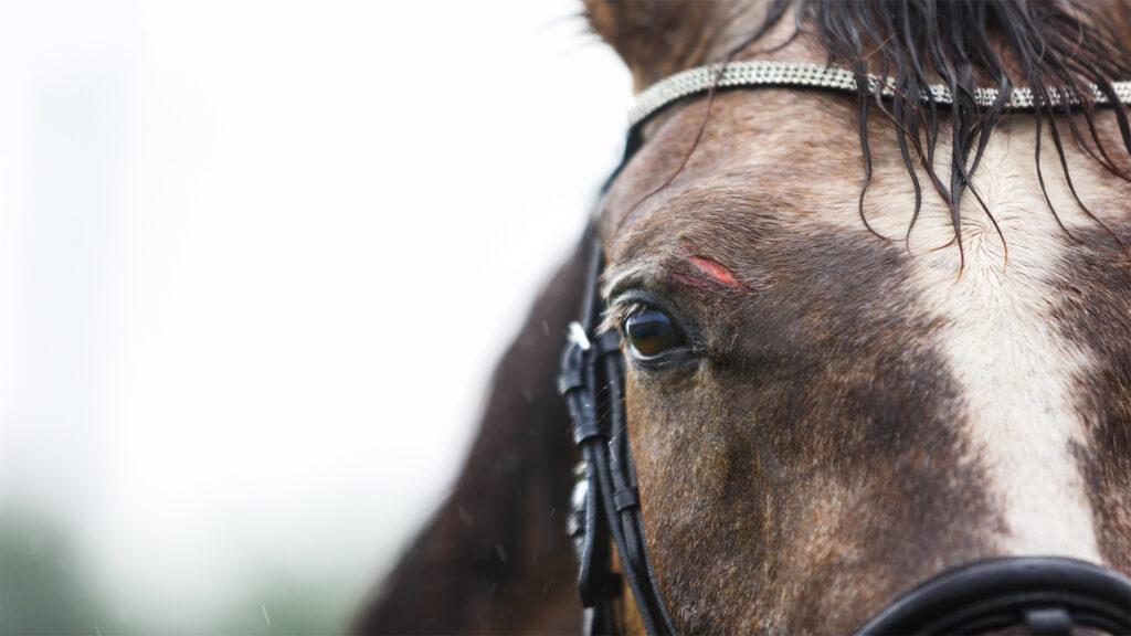 cheval mutilé